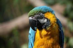 Macaw de bleu et d'or (Ara Ararauna) Photo libre de droits