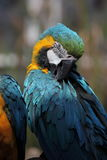 Macaw de bleu et d'or (Ara Ararauna) Photographie stock