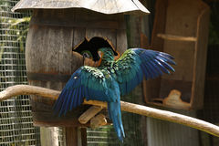 Macaw de bleu et d'or avec des ailes à l'extérieur Images stock