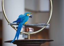 Macaw de bleu et d'or sur la perche Photographie stock