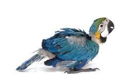 Macaw de chéri dans le reste Photos stock