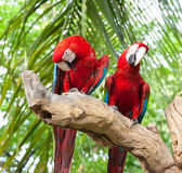 Macaw de couples Photo stock