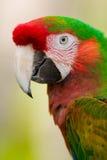 Macaw de harlequin Images stock