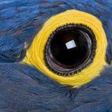 Macaw de jacinthe, 1 an, fin vers le haut sur l'oeil images libres de droits