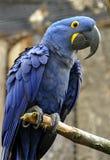 Macaw de jacinthe photo libre de droits