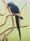 Macaw de jacinthe Photo stock