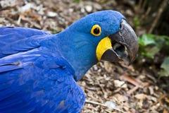 Macaw de jacinthe Photographie stock