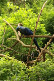 macaw de jacinthe Image stock