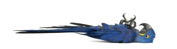 Macaw de jacinthe, hyacinthinus d'Anodorhynchus photo stock