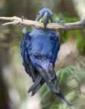 Macaw de jacinthe jouant dans l'arbre, pantanal, Brésil Photos libres de droits