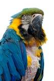 Macaw de virago Photos stock