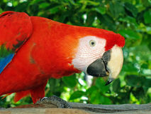 Macaw del Ara Fotografia Stock Libera da Diritti