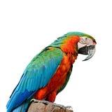 Macaw del arlequín Imágenes de archivo libres de regalías