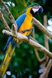 Macaw del azul y del escarlata del oro imagen de archivo