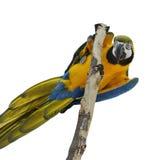 Macaw del azul y del oro Foto de archivo