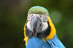 Macaw del azul y del oro Imagen de archivo