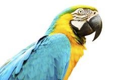 Macaw del azul y del oro aislado en el fondo blanco Fotografía de archivo