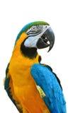 Macaw del azul y del oro, ararauna del Ara Fotos de archivo