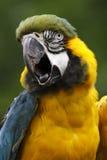 macaw del Azul-y-oro Imagen de archivo libre de regalías