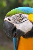 Macaw del Azul-y-oro Fotografía de archivo libre de regalías