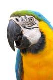 Macaw del Azul-y-oro Imágenes de archivo libres de regalías