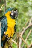 macaw del Azul-y-oro Foto de archivo