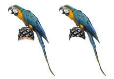 Macaw del Azul-y-oro aislado en blanco Imagen de archivo libre de regalías