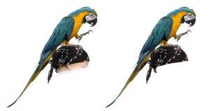 Macaw del Azul-y-oro aislado en blanco Fotos de archivo libres de regalías
