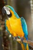 macaw del Azul-y-oro en el cerco de la naturaleza Fotos de archivo
