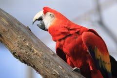 Macaw del escarlata Fotografía de archivo