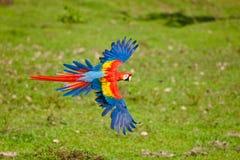 Macaw del escarlata Fotos de archivo libres de regalías