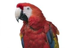 Macaw del escarlata Imagenes de archivo