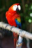 Macaw del escarlata Foto de archivo