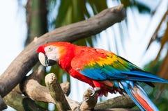Macaw del escarlata Fotos de archivo