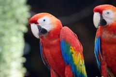 Macaw del escarlata Foto de archivo libre de regalías