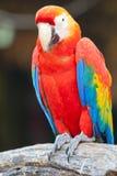 Macaw del escarlata Imágenes de archivo libres de regalías