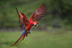 Macaw del escarlata - Ara Macao foto de archivo