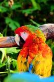 Macaw del escarlata (ara Macao) Foto de archivo