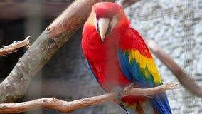 Macaw del escarlata - Ara Macao almacen de metraje de vídeo
