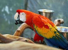 Macaw del escarlata con la fruta foto de archivo libre de regalías