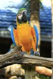 Macaw del escarlata del primer Foto de archivo