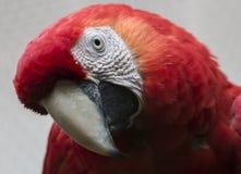 Macaw del escarlata del primer Fotos de archivo