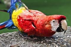 Macaw del escarlata en el parque Imagen de archivo libre de regalías