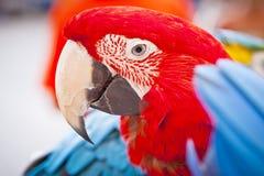 Macaw del escarlata en perca. Hola loro. Foto de archivo