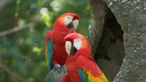 Macaw del escarlata en un parque en Ecuador almacen de video