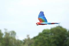 Macaw del escarlata en vuelo Imagen de archivo