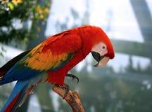 Macaw del escarlata encaramado en rama fotografía de archivo libre de regalías