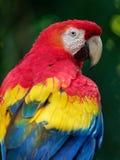 Macaw del escarlata - loro central y suramericano rojo de Macao del Ara, amarillo, y azul grande, nativo a los bosques h?medos de fotografía de archivo