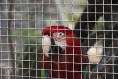 Macaw del escarlata que mira hacia fuera a través de las barras de su jaula Imagenes de archivo