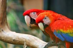 Macaw del escarlata y macaw Rojo-y-verde Imágenes de archivo libres de regalías